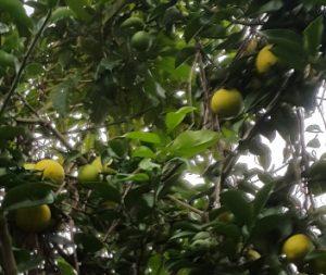 Nuestro limonero para hacer la limonada perfecta